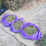 В Молдове задержаны члены ОПГ: конфискована марихуана на один миллион леев (ФОТО, ВИДЕО)