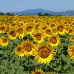 Урожай под угрозой: жара и отсутствие осадков привели к развитию болезней и вредителей на сельскохозяйственных культурах