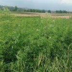 Правоохранители обнаружили плантацию конопли на земельном участке в Бубуечь (ВИДЕО)