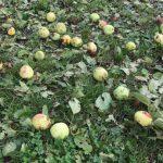 Жуткий град побил урожай и фруктовые деревья в Каменке (ФОТО)