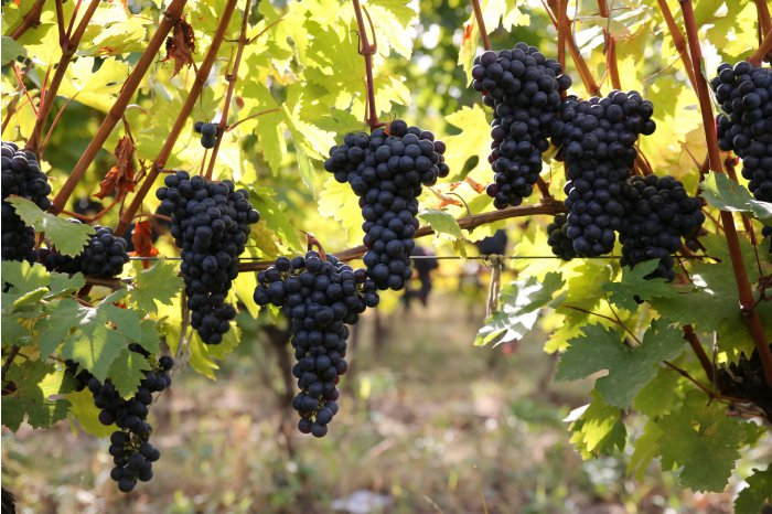 В Кишиневе открылась ярмарка винограда