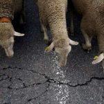В Гагаузии водитель наехал на отару овец: погибло более 20 животных