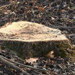 В Рыбнице разыскивают подозреваемых в незаконной вырубке деревьев (ФОТО)