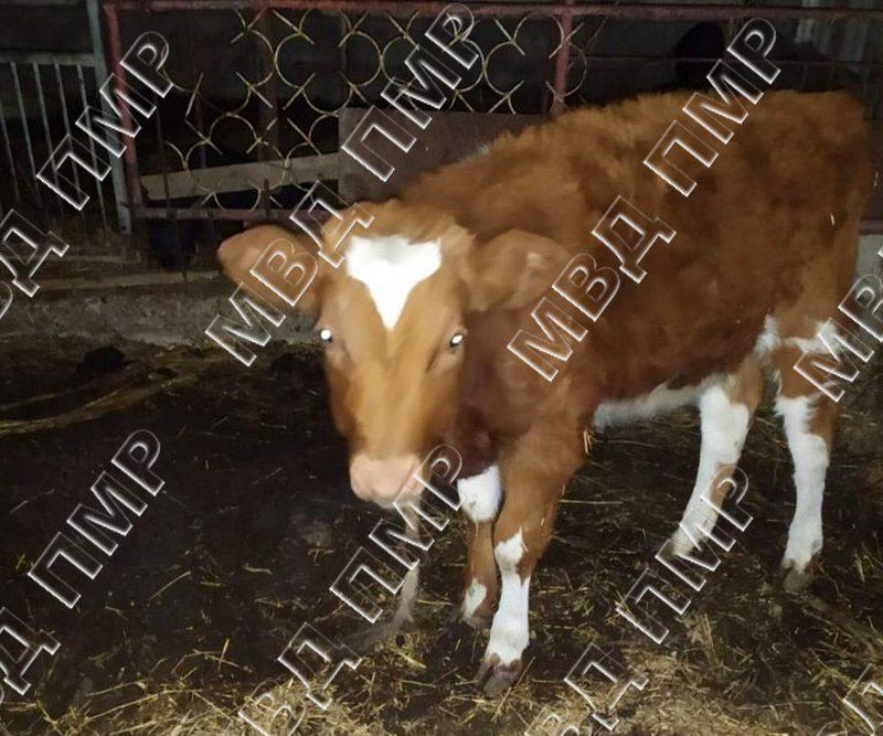 """В Слободзее сельчанин """"приютил"""" у себя чужую корову"""