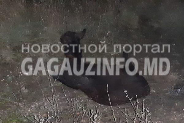 В Томае невнимательный водитель сбил на дороге осла (ФОТО)