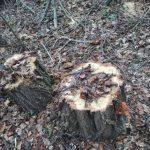 В столице участились случаи незаконной вырубки деревьев (ФОТО)