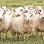 Пограничники помогли жителю Гагаузии найти отару заблудших овец