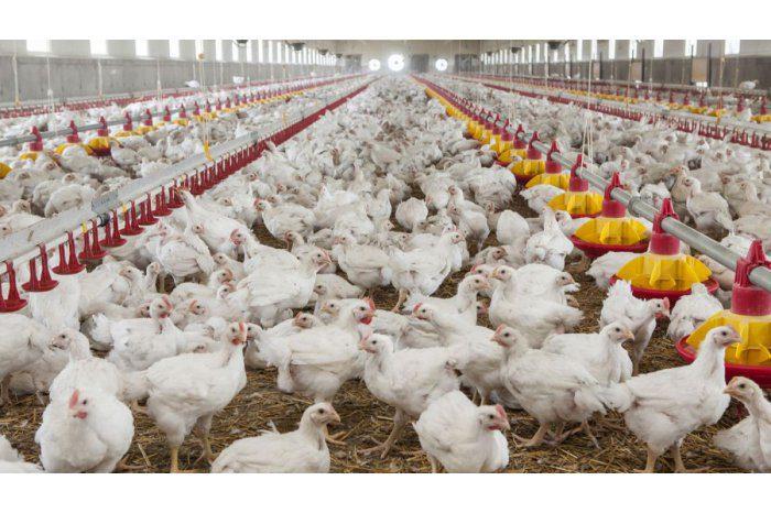 НАБПП временно запретило ввоз мяса птицы из Винницкой области
