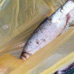 За торговлю рыбой из Красной книги был оштрафован экономический агент с Центрального рынка