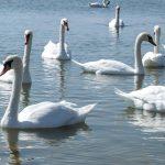 В Сорокском районе Днестр превратился в заповедник: десятки лебедей прилетели туда на зимовку (ВИДЕО)