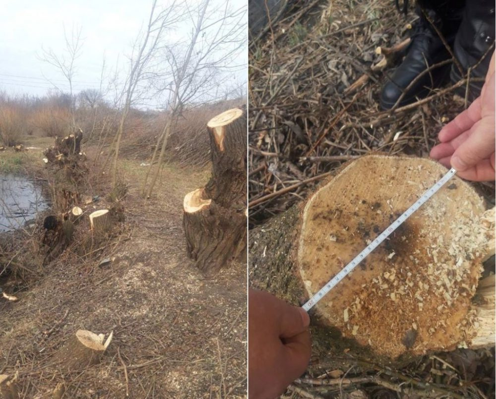 Жителю Дрокии грозит наказание за незаконную вырубку деревьев (ФОТО)