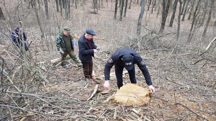 В Хынчештском районе зарегистрирован очередной случай вырубки леса (ФОТО)