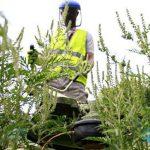 Война с амброзией: власти займутся очисткой города от сорняков