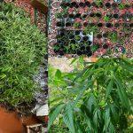 Житель столицы превратил свою квартиру в оранжерею для конопли (ВИДЕО)
