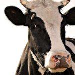Испугался ответственности: пьяный мужчина сначала украл, а потом вернул соседскую корову