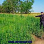 Десятки кустов бесхозной конопли обнаружили в пограничной зоне