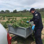 Крупную плантацию конопли обнаружили полицейские у жителя Варницы (ФОТО, ВИДЕО)