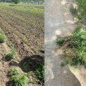 """Операция """"МАК"""": в кукурузном поле в Трушенах нашли коноплю на 60 000 леев (ВИДЕО)"""