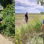"Операция ""МАК-2020"": полиция нашла десятки кустов конопли на территории Кишинёва (ВИДЕО)"