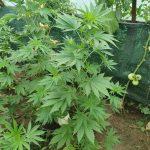 За выращивание конопли задержаны двое жителей Кагула (ФОТО)