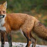В Молдове выявили 7 случаев бешенства у животных