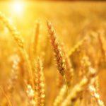Премьер заверил, что Молдове хватит зерновых для внутреннего потребления (ВИДЕО)