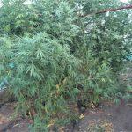 Оранжерею с кустами конопли организовал в своём дворе житель Кантемира (ФОТО)