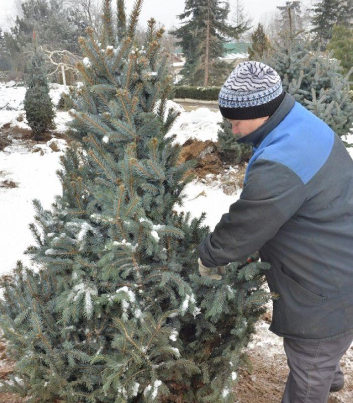 Когда в Кишинёве начнётся продажа новогодних ёлок