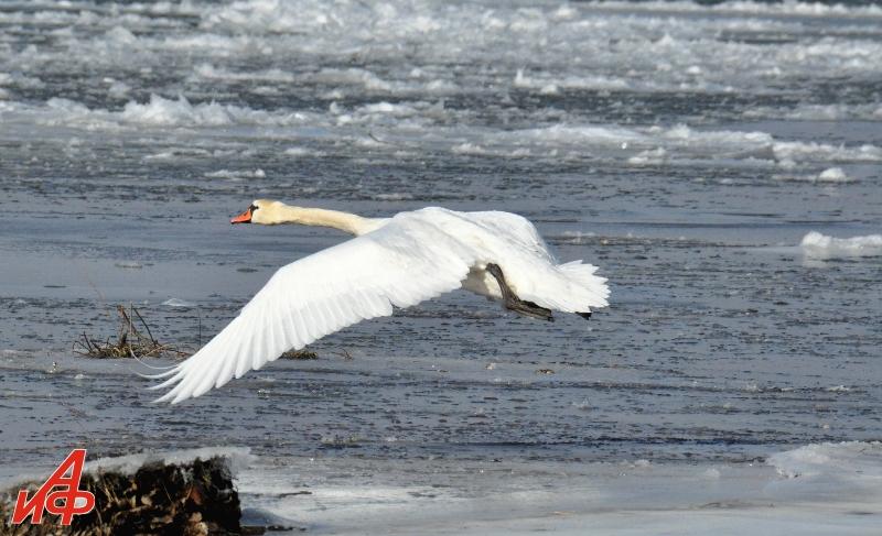 Молдова глазами Взорова. Днестр, лебедь, зима-2021