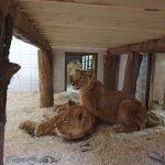 Кишинёвский зоопарк приобрёл четырёх африканских львов