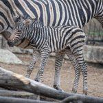 В столичном зоопарке родился зебрёнок