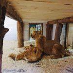 Выбраны имена для 4-х львов столичного зоопарка