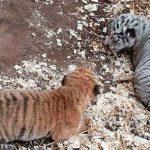В столичном зоопарке родились 2 тигрёнка