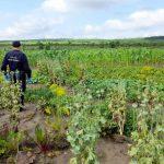 Сельчанин развёл на своём участке мини-плантацию мака