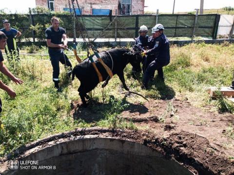 Спасатели освободили провалившуюся в канализацию корову (ВИДЕО)