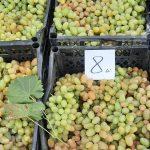 В столице проходит ярмарка винограда