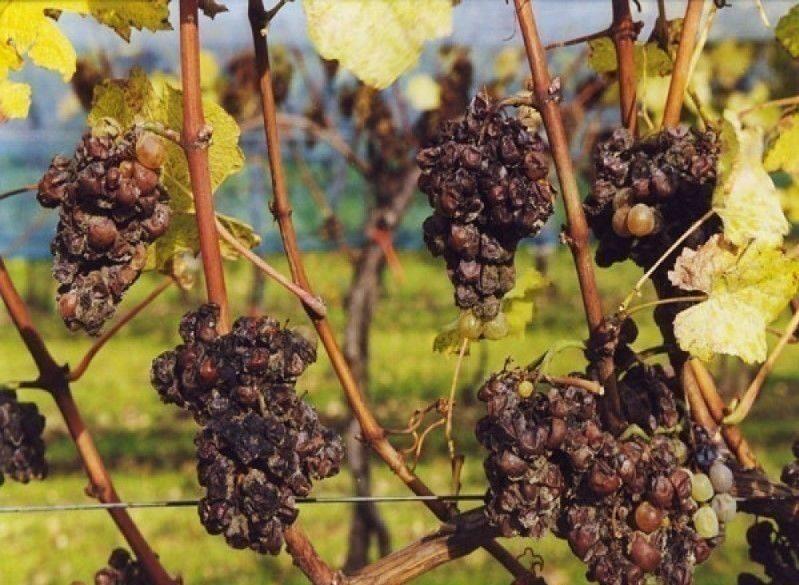 Гроздья проблем винограда